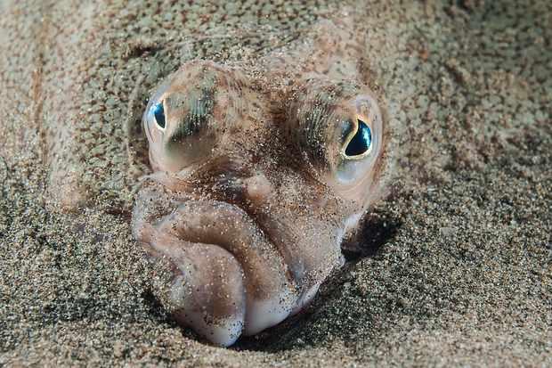 Coast And Marine Wales winner: Plaice face (Criccieth Beach, Gwynedd). © Mark Thomas/British Wildlife Photography Awards