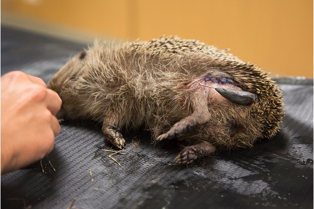 Documentary winner (six images in the series): Britain's most loved mammal (European hedgehog, various locations, Cornwall). © Lawrie Brailey/British Wildlife Photography Awards