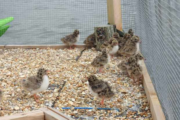 As terns usually nest on dry land, a mesh netting was needed to ensure these chicks didn't fall overboard