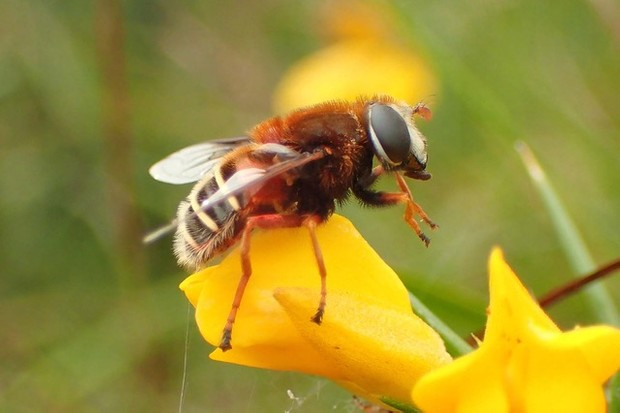 The bog hoverfly.