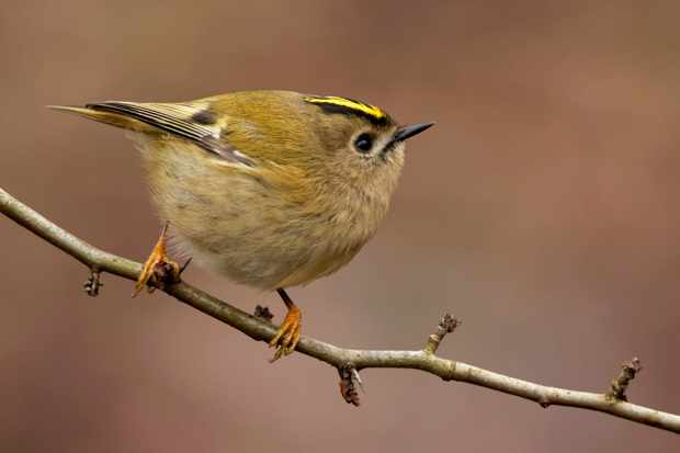 Goldcrest on perch