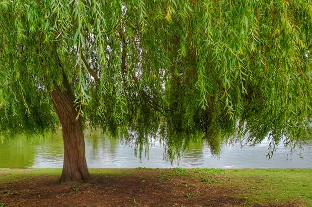 Willow tree. © Andrea Kennard Photography/Getty