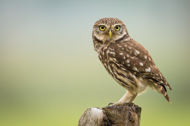 Little owl is one of the three species to have declined. ©WimHoek/Getty