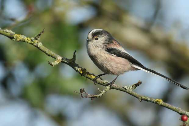 A long-tailed tit hunting for insects to eat. © SandraSandbridge/Getty