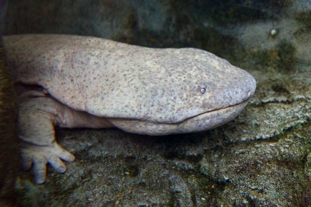 Chinese giant salamander. © Best View Stock