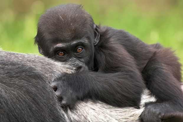 Young Western Lowland Gorilla (Gorilla gorilla gorilla). © Mark Carwardine/Getty