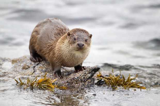 Eurasian otter in Shetland. © Mark Hamblin/Getty