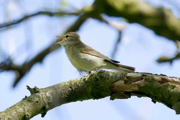 A willow warbler. © Andrew_Howe/Getty