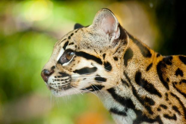 Margay. © AngiePhotos/Getty