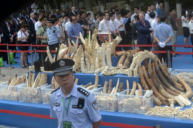 Confiscated ivory in China. © Barcroft Media / Contributor/ Getty