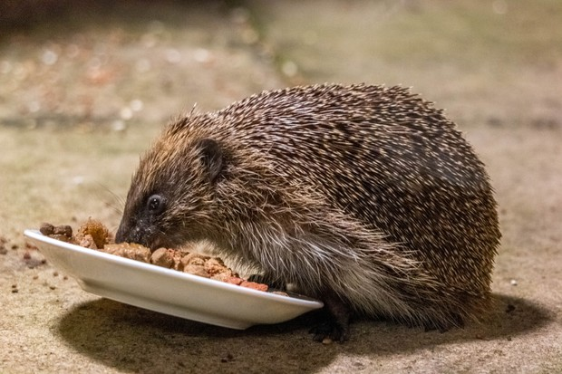 Hedgehog eating tinned dog food. ©Stephen Boyd/EyeEm/Getty