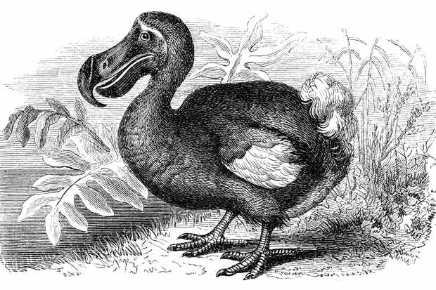 illustration of a dodo bird in black and white