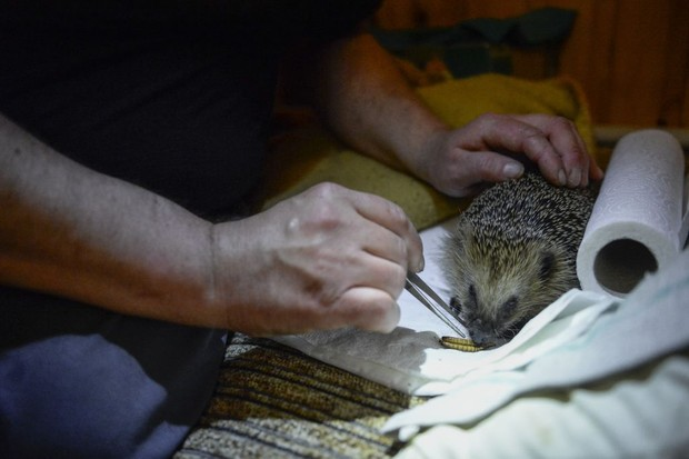 Hedgehog at a rescue centre in Poland. © Omar Marques/Anadolu Agency/Getty