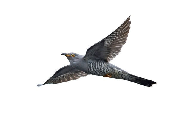 The common cuckoo in flight ©Denja1/Getty