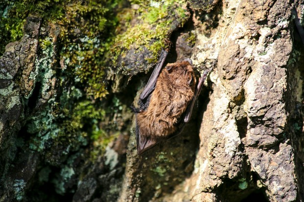 Common pipistrelle bat. © Claire Wood