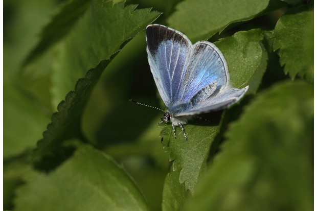 Holly blue butterfly. © Dean Morley/Butterfly Conservation