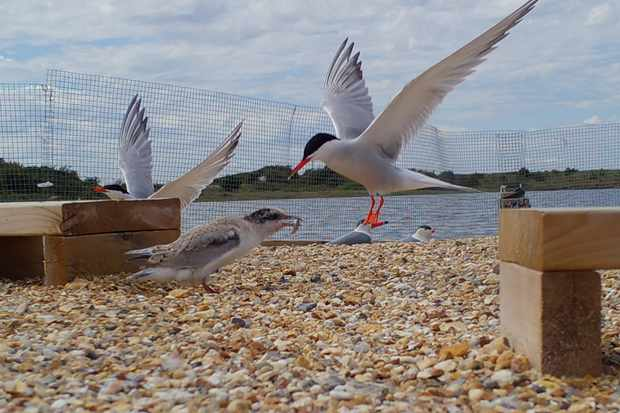 A parent common tern drop off food for its chick.