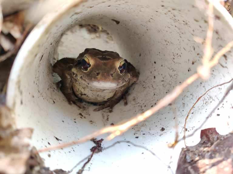 Safe haven created for Critically Endangered frog in Montserrat