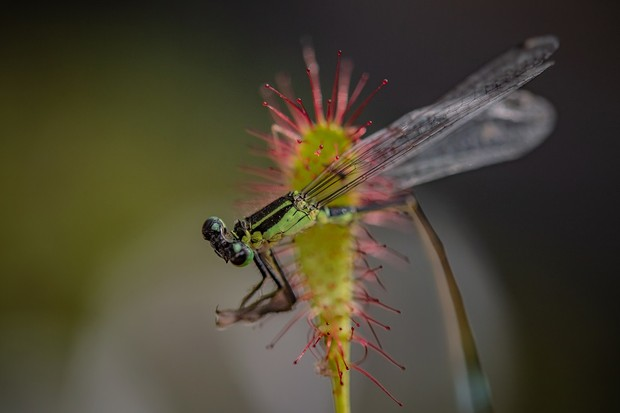 Damselfly caught in the sticky fluid secreted by a sundew plant. © Chester Zoo