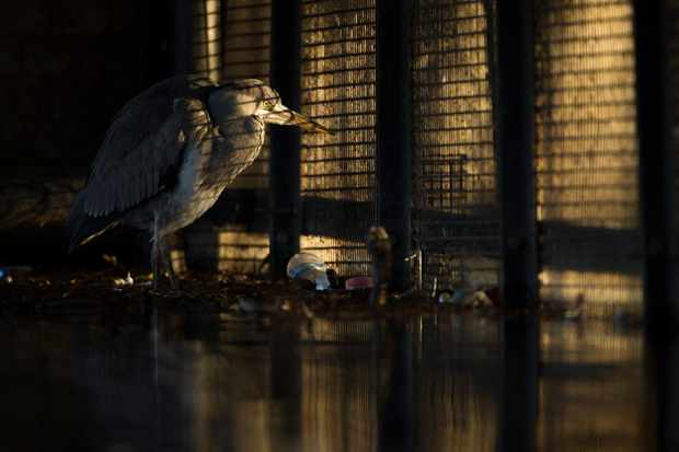 Overall winner and Urban category winner: Behind bars (grey heron, London). © Daniel Trim/British Wildlife Photography Awards