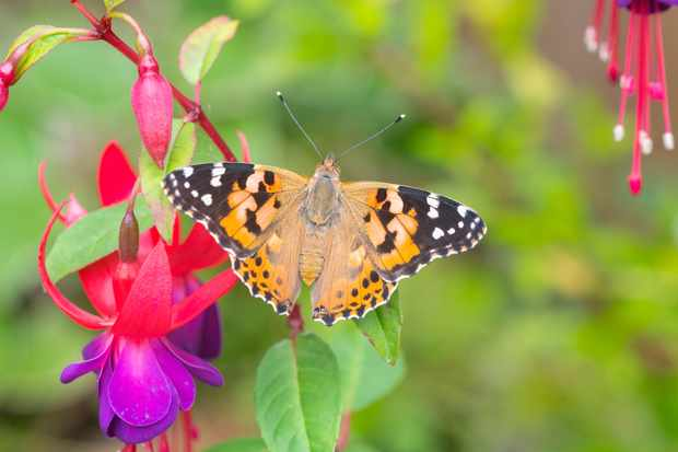Painted lady butterfly. © Andrew Cooper/Butterfly Conservation