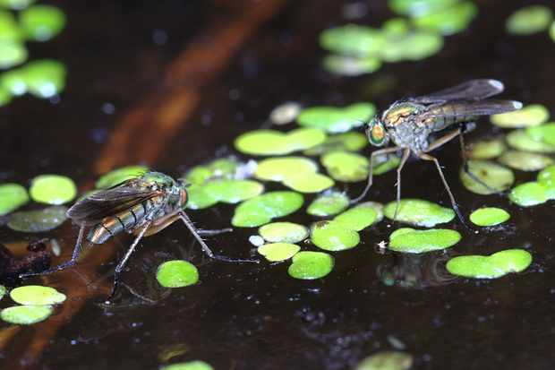 A female (left) and a male (right) bobbing on the surface of a pond.