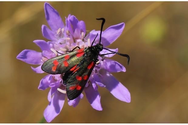 Six-spot burnet moth. © Ann Collier/Butterfly Conservation