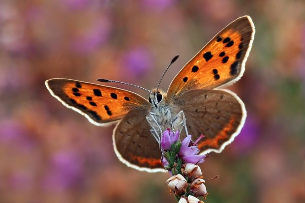 Small copper butterfly. © Matt Berry/Butterfly Conservation