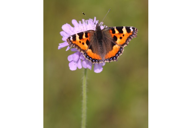 Small tortoiseshell butterfly. © Miles Attenborough/Butterfly Conservation