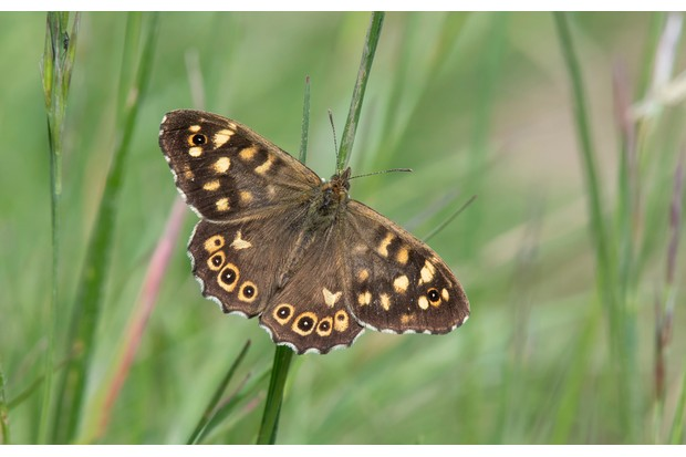 Speckled wood butterfly. © Bob Eade/Butterfly Conservation