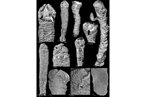 fossil rhenopyrgids