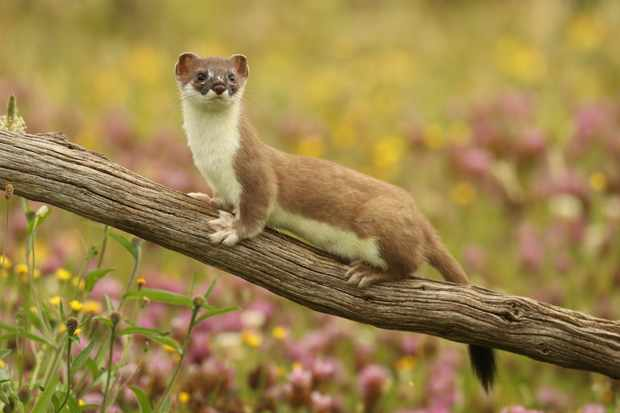 A stoat featured in the episode. © Robert. E. Fuller
