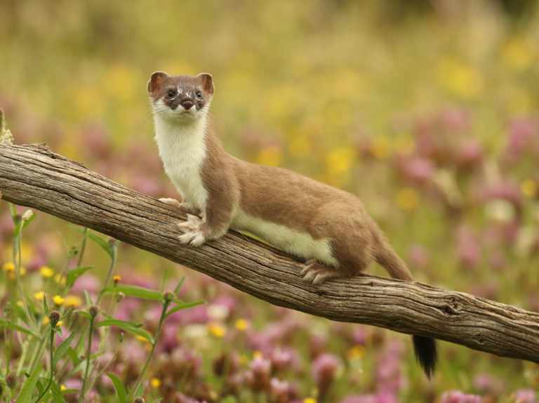 When is Weasels: Feisty and Fearless on TV?