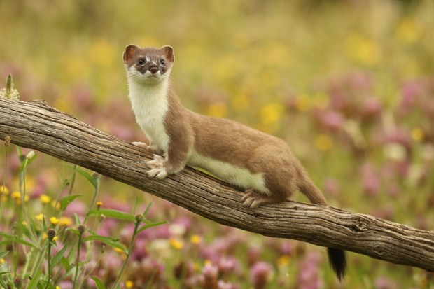 When is Weasels: Feisty and Fearless on TV? - Discover Wildlife