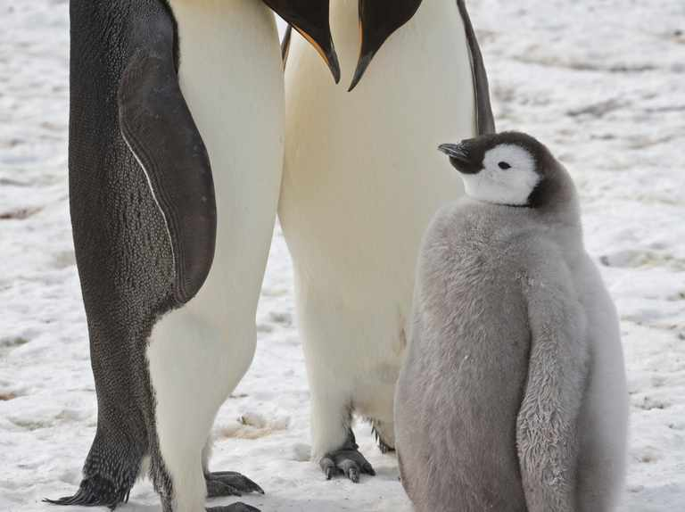 Special protections recommended for emperor penguins
