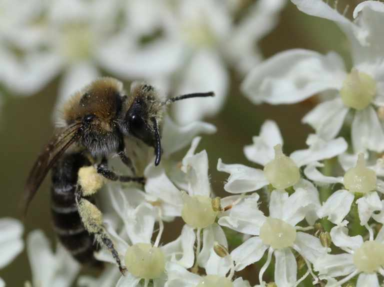 Northern Ireland's bees under threat of extinction
