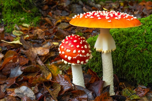 """""""Ironically for a fungi fanatic, I had never photographed the epitome of the mushroom; the glorious Amanita muscaria (Fly Agaric), until last autumn. Captured in the New Forest, this particularly perfect pair created such a magical fairy-tale scene"""". Eleanor Hilsdon 2018."""