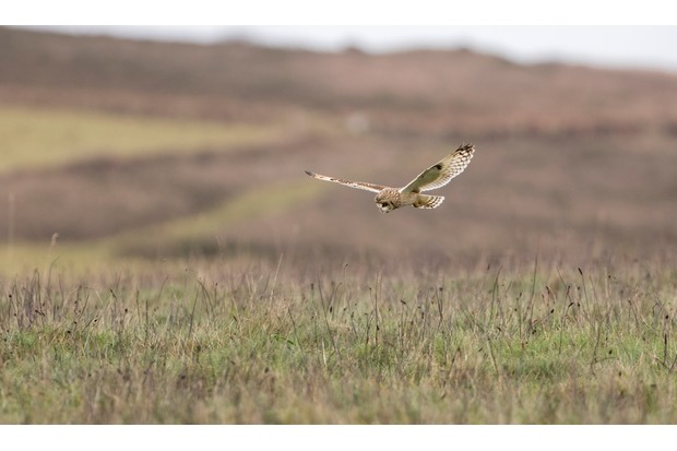 """""""This is one of the best opportunities and experiences I've had to photograph wildlife. Being surrounded by four Short-Eared Owls, methodically hunting the fields around me was spectacular. Although it was cold, it was worth the long wait, after being greeted by this majestic species of owl"""". © Ewan Heath-Flynn ."""