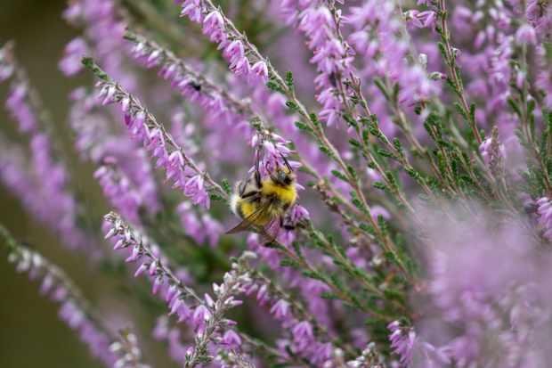 Wild bumblebee on heather (Calluna vulgaris). © Paul Carpenter/Getty