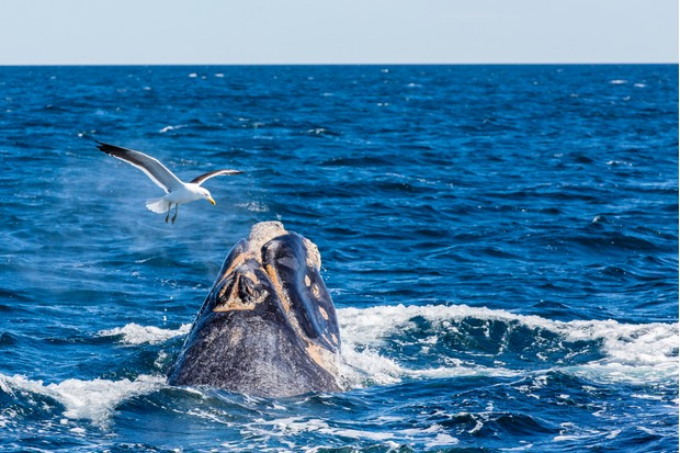 A southern right whale being harassed by a kelp gull. © Michael Nolan/RobertHarding/Getty