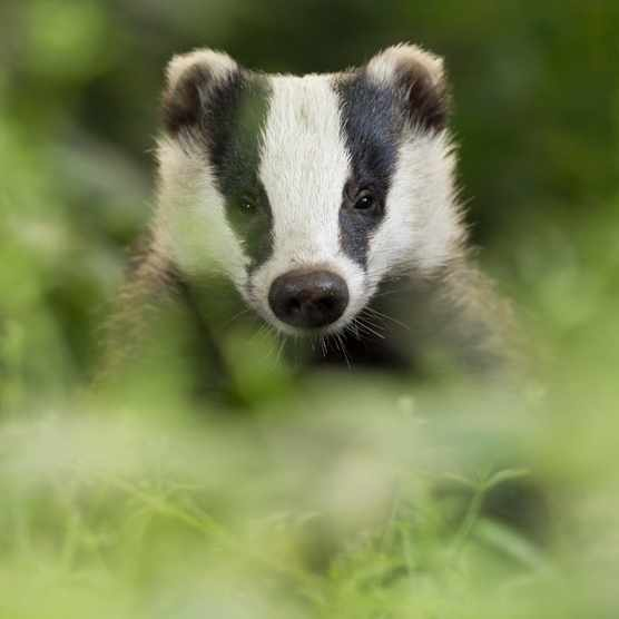 A European badger. © Damien Kuzdak/Getty