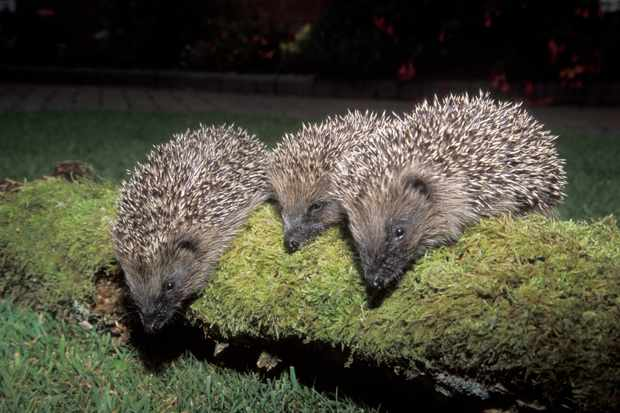 Hedgehogs. © Mike Lane/Getty