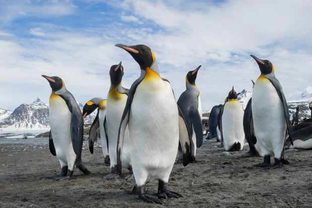 A group of king penguins. Mint Images - David Schultz/Getty