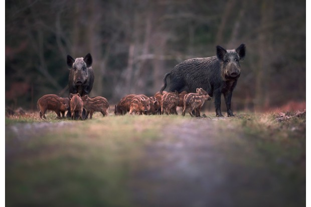 The Forest of Dean is home to a diverse array of species, including a thriving wild boar population. © kristianbell/Getty