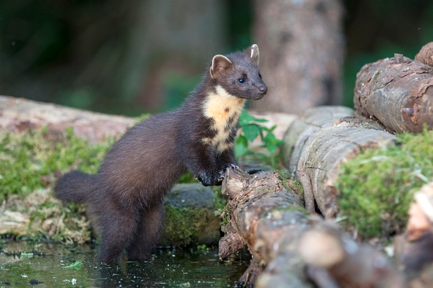 A young Pine Marten (Martes martes) at a feeding station in Scotland. © Gannet77/Getty