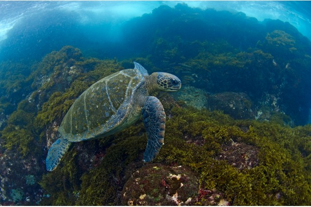 The Galápagos green turtle is the only species of turtle to nest in the Galápagos. ©Jonathan Green