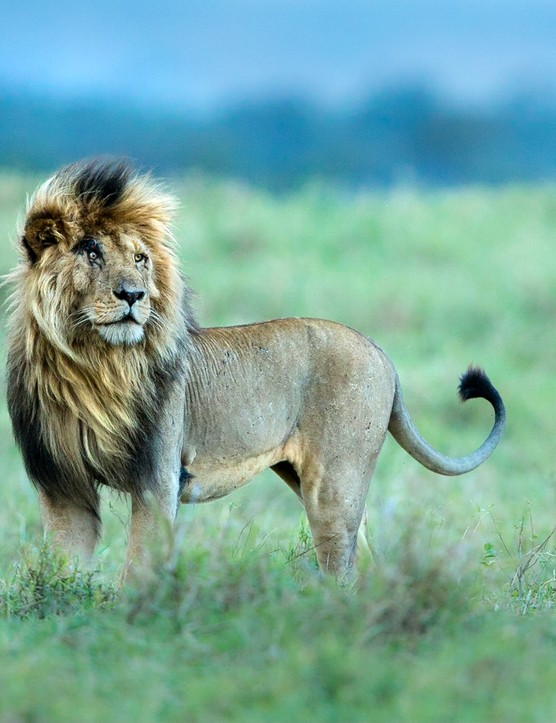 A male African lion in Maasai Mara National Reserve, Kenya. © Marlon du Toit