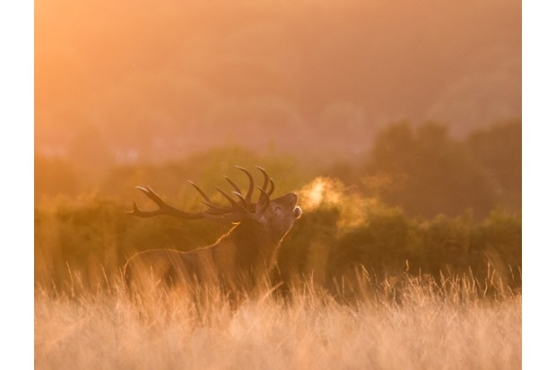 """""""I arrived in Richmond Park in absolute darkness hearing the roars of stags echoing around, I placed myself a good distance away from this one and when the sun came up he put on quite a show!"""" © Olly Johnson."""