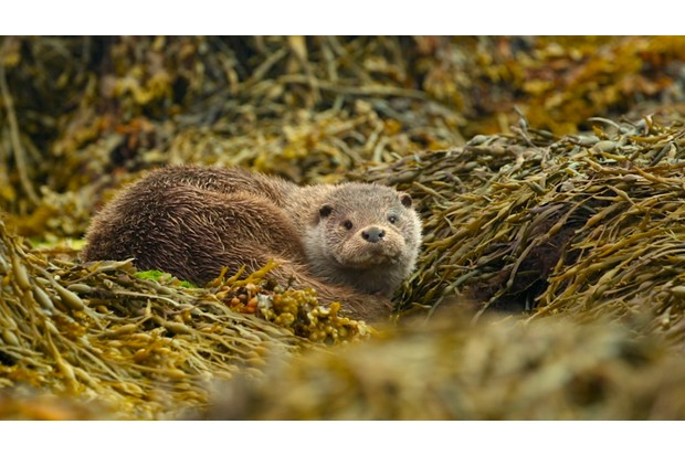 """""""Filming otters in Shetland was one of my favorite wildlife experiences. Camera equipment and techniques does not matter very much; it is all about the challenge of predicting their movements and sneaking up on them without being detected. A close encounter with one of these elusive animals is absolutely beautiful."""" © Joshua Harris"""