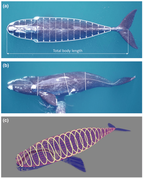 The dorsal and lateral measurements were taken (a and b) and then a 3D model was used to estimate body volume (c). © Christiansen et al. (2019)